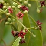 flor-del-sándalo-295x300