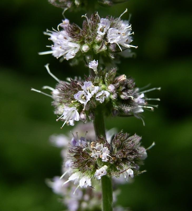 Aceite esencial  de menta piperita – mentha piperita