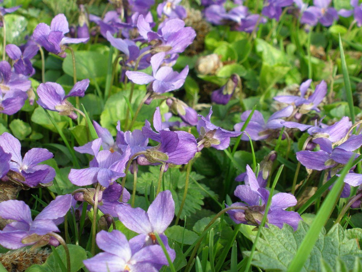 Aceite esencial de violeta - viola  odorata