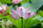 lotus-963450_1280