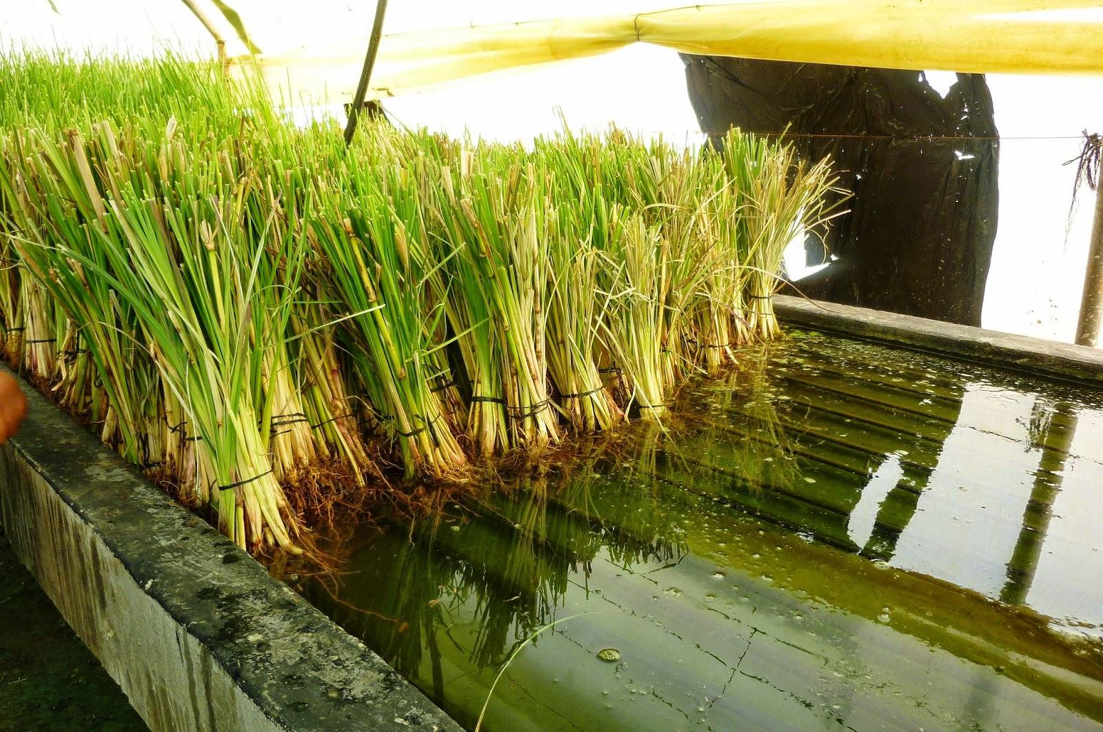 Aceite esencial de vetiver – vetiveria zizanioides