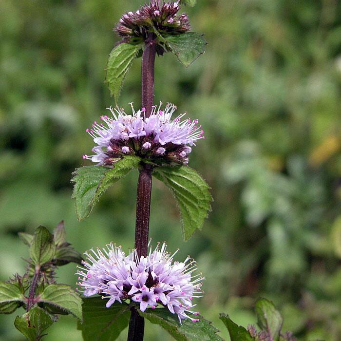 Aceite esencial de menta de campo – mentha arvensis