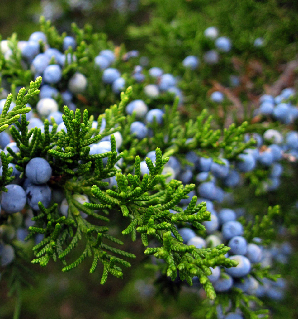 Aceite esencial de enebro – juniperus communis