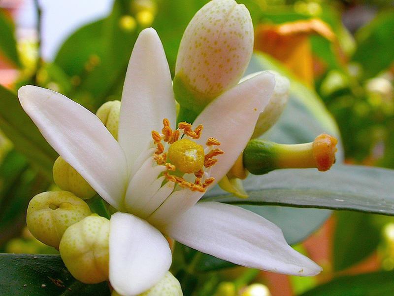 Aceite esencial de neroli – citrus aurantium
