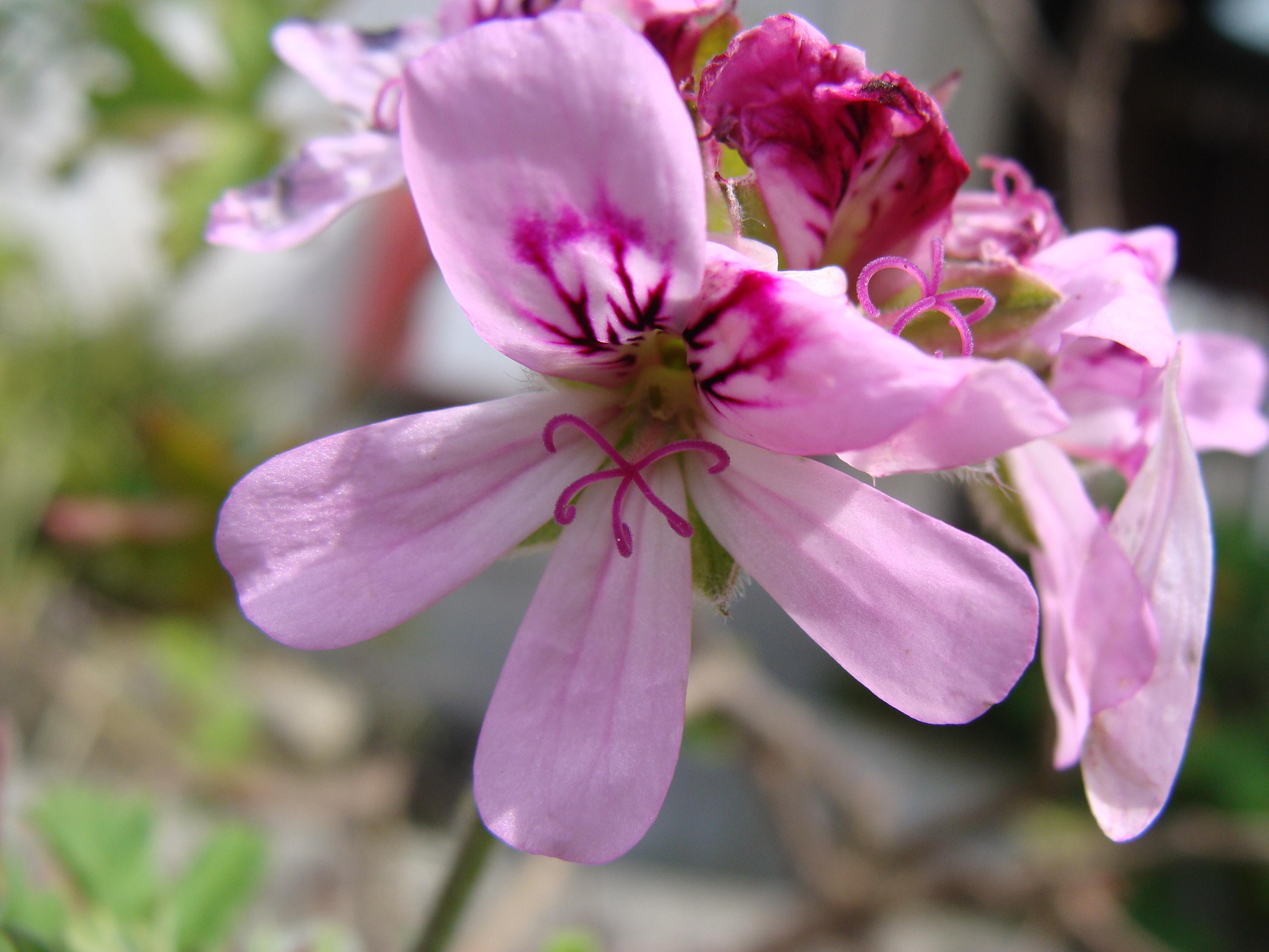 Aceite esencial de geranio – pelargonium graveolens