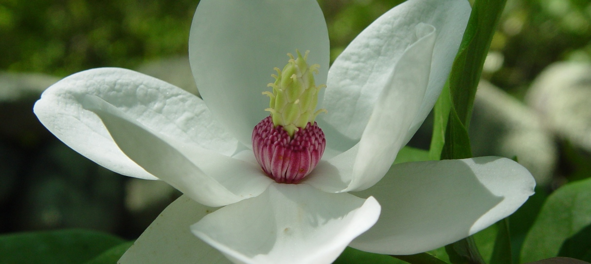 magnolia-1