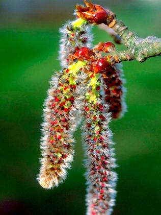 aspen-alamo-temblon