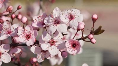 cherry-plum-cerasifera