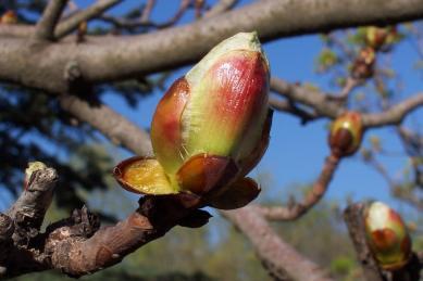 chesnut-bud