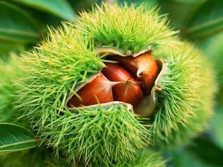 sweet-chesnut
