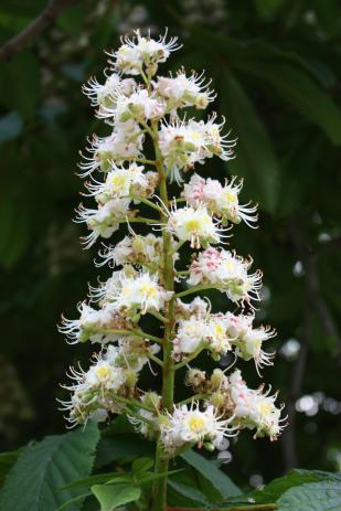 white-chesnut