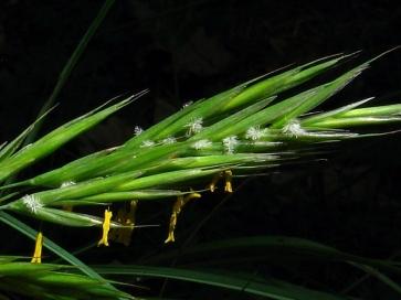 wil-oat-avena-silvestre